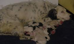 We are happy to announce that we have 9 puppies who will be ready to go to their new homes as of Jan 30th, 2012. the mother is a springer/ english setter cross, and has the gorgeous markings of the english setter, the father is a purebred Springer