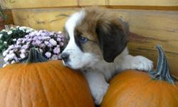 Cute St-Bernard puppies ready for there new loving home. They are pure bred and long hair, parents on site, as been vet check,first shots and dewormed. Picture 1 to 4 are females.