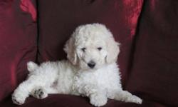 Standard Poodle puppies; six little gems, bright and sparkly! Love people, attention, cuddles, and kids. Imprinted, first shots, deworming, tails docked, family raised. All are ready to brighten up your life: come and see our jewels!       Meet :