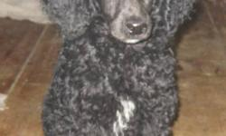 i have a litter of 5 Standard poodle pups my number is 613-476-9196 call as sometimes kijiji emails do not come to me or it says this add is no longer available if this add is here my pups are here. I have 1 chocolate male,in the black i have 2 males and