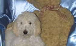 Standard Poodle Puppies Two adorable, lovable, snuggly, little Poodle puppies. They love people, cuddles and kids. They have been imprinted, and they have had their first two vaccinations, and tails docked. They sleep through the night from 10pm to 7am.