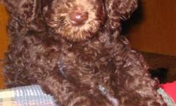 I have a chocolate standard poodle female she is ready to go she has been to the vets got her first shots and has been dewormed. She is doing great on the house training. Parents are here to meet. Mom is the white poodle dad is last picture. 705-286-0812