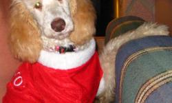 Goregous female standard poodle puppy. She has been vet checked first shots and been dewormed.She is leash trained and doing all right on the out side potty training. Parents are here for you to meet they are pets and live in the house with us. She is