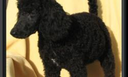 We have a litter of beautiful standard poodle puppies. These puppies have amazing temperaments.  They will be small size standards.  Still available we have: Pup #2 Black Female (white necklace) - 1st picture Pup #3 Black Female (white on her chest) -