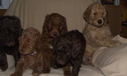 We have Standard poodle puppies!!!   We at Woodworks Standard Poodles are super excited!   Our Red Girl Tasha and our Sable Boy Samson have produced an outstanding litter!   This gang is incredibly sweet and VERY happy and laid back. Active and playful
