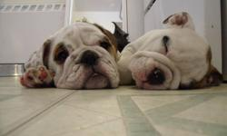 I have 2 gorgeous English Bulldog Puppies for sale. The male is the mostly white. Female is the Brindle. Great personalities, puppy pad trained, stunning looks. They come vaccinated, dewormed, Microchipped, tattoo'd and Health Guarantee. If Interested
