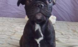 I have 3 stunning french bulldog puppies for sale! 2 MALE 1 FEMALE. Sweet personality, great around other animals, puppy pad trained! Excellent temperament! Health Guarantee, vaccinated & dewormed, microchipped and tattoo'd. Female pic 1, 2 & 3 Male 4 &
