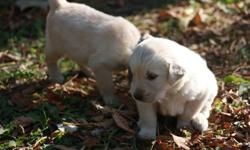 These georgeous and ever so healthy Golden retreiver pups  were born Sunday sept 25th. These dogs are looking for their forever homes with your family, If you are looking for an outside dog or an attack dog look else where The dog on the couch it the dad