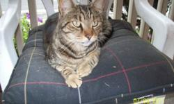 Stunning male cat needs a loving home. He's approx 3/4 years old according to the vet. He is beautiful, loving and friendly. This poor guy was once a family pet, was declawed and neutered, and then left out in the cold to die :( Tom, (as we call him) was