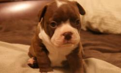 I have 3 beautiful boston terrier pups that will be soon be available for their new homes. Bostons are awesome friendly family dogs that have a great combination of energy to play in the park or the ability to sleep all day on the couch when its raining.