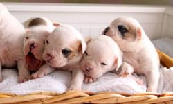 3 ABRA registered American Bulldog puppies born Dec 5 ready to go now & 8 OBBA registered Olde English Bulldogge pups, 5 male, 3 female, ready to go March first. Wormed, vaccinated, microchipped, registered, with full colour certificate and 3 generation