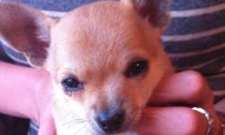 Sweet affectionate 9 week old registered Chihuahua puppies for sale 2 males, one black and one fawn, 1 fawn female. Champion bloodlines and vet checked. Parents are healthy and good natured. Full grown weight is 4-5lbs CKC registered, microchipped,