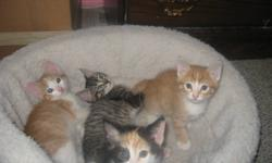 4 - Two Month old, litter trained, very playful kitties available for you to welcome into your family TODAY! grey tabby & torti are female, the orange tabbys are both males. Mom is a small longer haired vocal Torti with a fantastic attitude. Currently