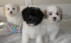 We have been blessed with Two very special litters! The first three pups are pure Havanese and all of them are girls! The second litter is of two baby boy Havanese X Poodles, Apricot in Colour!   Havanese are Non-shedding, super sweet, with very soft