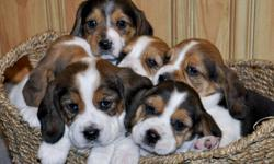 SWEET ADORABLE BEAGLE PUPPIES! They will be vet checked, have their first shots and be dewormed when they are ready to go. Ready to go on January 21st, 2012. Asking $450 for the females and $475 for the male. A $100 down payment will hold the puppy of