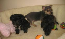 Our 4,7 lbs Chihuahua female and our friends white toy poodle had an adorable litter. Those adorable puppies were born on July 18, 2011 There are 2 males and only 1 female The female is black with tan highlights; she has a soft and curly fur; she has more
