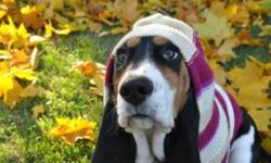 Sadly we have to part with Emma our sweet Basset Hound she is 7 months old and such a loving pup.  She absolutely loves everyone and adores children.  She greets you every morning and anytime you come home.  She is not a guard dog by any means but she