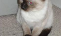 Meet RIBBON. SHE'S ONLY 1.4 KG. She is an adorable,cuddly,lovable little Siamese kitten who came into HOLLYS HOPE CAT RESCUE recently from a 'hoarding' situation. She is litter trained,playful & loooooooves to eat. She is fostered in a multiple pet