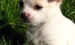 Beautiful white/cream female PomChi available!   Lulu is a such a sweet little girl. Raised in a family home with two children.   Will come with 1st shots, deworming, and her very own puppy pack: blanket, collar, toy, and food!   Taking deposits now.