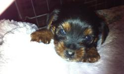 Sweet Little Puppies. will grow to be between 4-7 lbs. 5 Female Yorkie Puppies born Aug. 29th, 2011. Ready for a new home at 8 Weeks of age + Mom and Dad Yorkies are onsite. Puppies will have tails docked, vet check, first booster and small care package.