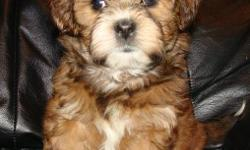 Our adorable pups are a mixed breed between a Shih Tzu (Dad) and a Shih Tzu/Poodle (Mom). What you get is a great non-shedding small dog with the wonderful traits of two great dogs. Pups should mature to about 8-12 lbs. Pups are well socialized and they