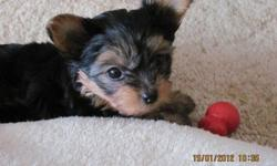 Yorkie Female- 10 weeks old, 2lbs, sweet and spunky. Come and meet the family (mom Cocoa, dad Buddy, and baby Cinder).She is one of their first litter. She has had the Vet Check and Homeopathic Nosode Immunization for Parvo, Rabies, Distemper, and Tetnus
