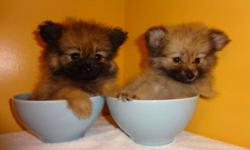 T-CUP POMERANIAN (((647-839-6804)))  THEY ARE ADORABLE T-CUPS, READY TO GO, I ONLY HAVE ONE MALE AND ONE FEMALE AVAILABLE, THEY WILL BE FULLY GROWN 5-6lbs, FUR IS VERY FULL AND FLUFFY.  They were vet checked, dewormed and got first set of shots. I will