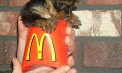 ~     ~   BOTH MOM AND DAD ARE SMALL   There are 2 female puppy available   PUPS ARE ESTIMATE TO MATURE AT   3 lb.  and 3.5 lb.   ~      ~