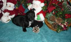 Taco Terriers Puppies! (Chihuahua x Toy Terriers)   There is 1 male and 4 females left!! the 1st picture is the male! Our puppies are vet checked, have their 1st shots, and will come with their vet records and de-wormed.  For more information please call