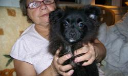 Her name is Vixen. She is a pomeranian. She is friendly, playful, and cuddly. She has her first shots, is dewormed and vet checked. If you think she could become a loved member of your family please call 780-978-4841.