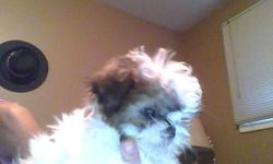 there is 2 shih tzu puppies ready for thier new home. the brown and black puppy is male and has his first shots. tan and white is female and does not have her shot. her birthday is sept 16