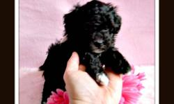 Please visit our website @:   beautifulpoodles.com     for more information and pictures . We are accepting deposite for these babies now. We are breeders with integrity and heart :)    Each puppy comes with :    1rst needle  Vet check  1 year written