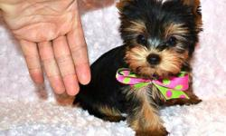 Ready to go Feb 1st 5 Yorkies (males and females) Puppies are being vet checked and vaccinated on Jan 24th and ready to leave us on Feb 1st. Sizes range from 3.5-6 lbs adult size. Prices range from $950-$1500 (depending on size and sex) If you have any
