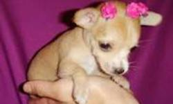 TWO FEMALE AND ONE MALE CHIHUAHUA PUPPIES FOR SALE. THEY GOT THE FIRST SET OF VACCINES AND DE-WORMERS. THEY WILL WEIGHT ABOUT 4 POUNDS FULLY GROWN. HEALTH GUARANTEE 647 931 4162