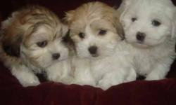 I have 5 Tiny Teacup Malt x shih tzu They have had shots and 3xs de wormed vet approved Paper work provided 3 girls and 2 boys All brindle with white ,white with cream and black and white They dont need alot of room to run Loving and very docile,nice tiny