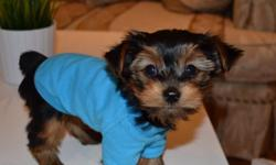 Male Yorkie pups Only 1.8 Pounds now! They will mature to be 3.5-5 pounds Vet certified, 1st vaccinations, de-wormed 2x Playful, affectionate, full of energy, healthy and very well socialized. Puppies go home with health guarantees and goody bag. Our