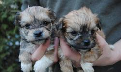2 MONTHS OLD TINY TOY/ TEACUP SIZE MORKIE PUPS READY TO NEW HOME NOW NON-SHEDDING, HYPOALLERGENIC 2 BOYS 2 GIRLS IN A LITTER 1 darker girl -- $450 (pic 1 right) 1 lighter girl -- $495 (pic 1 left) 1 darker boy -- $450 (pic 4 left) 1 lighter boy -- $495