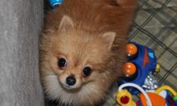 Orange male Pomeranian looking for his new home. 7 months old and he shouldn't grow anymore. He is up to date on shots and deworming and has had a full health check recently! (Vet records since he was a baby are available! I guarentee he has never had any