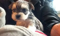 2 MONTHS OLD TINY TOY/ TEACUP SIZE MORKIE PUPS READY TO NEW HOME NOW NON-SHEDDING, HYPOALLERGENIC 2 BOYS 2 GIRLS IN A LITTER 1 darker girl -- $450  - SOLD 1 smallest(real teacup)lighter girl -- $550 (pic 1,2,3) - AVAILABLE 1 smaller(tiny toy size) darker