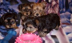 REDUCE Only one left female teacup yorkie-poo left. She is looking for a special family This very tiny dog is very healthy and love to be hold . She has been dewormed twice have her first vaccine and have papers from her vet. She weight 23 ounces and is