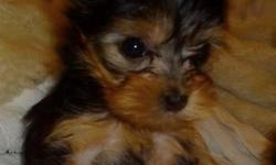 Beautiful Teacup Yorkie for sale$1300.00 Female Teacup Mother is 4 pounds and dad is 3.5 pounds fantastic temperament   Serious inquiries only and I am not looking to negotiate 10 weeks old Picture 1 is 6 weeks old Picture 2 is at 9 weeks old Picture 3 is