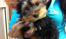 Yorkie 1 male, 2 sets of shots crate trained. Great Christmas gift. Call 519-200-0975 or 519-859-6002