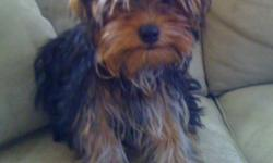 We have one teacup male yorkie he is beautiful, has all his shots, paid 1000 for him and 1200 for his brother, we are unable to keep both as it is too much with our new born, so we are asking 500 our mistake is your gain well behaved, and great with the