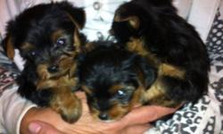 Tea cup yorkies. EXTREMELY adorable. 3 to 5 pounds grown. Please call only. No emails. 519 676 7033 This ad was posted with the Kijiji Classifieds app.