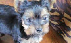 ADORABLE TINY TEACUP CKC REGISTERED YORKSHIRE TERRIER PUPPIES.  HEALTHY HAPPY GIRLS RAISED IN HOME UNDERFOOT WITH LOVE!  THESE BABIES COME WITH 6 WEEKS FREE PET INSURANCE FOR VETERINARY COSTS COVERING ACCIDENT, INJURY OR ILLNESS UP TO $750.00 WILL BE