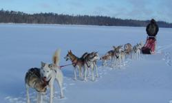 Outstanding sled dog team of 12 Alaskan huskies Redington-Runyan-Swingley lines for sale, including two new toboggan sleds, harnesses and gang lines. The dogs are in their prime from 2 to 6 years old, healthy, very well trained and socialized. All