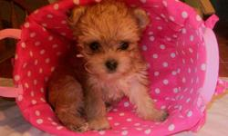 We have absolutely adorable 1st Generation MORKIE puppies who are now ?Available? (Out of our 6 babies, we have 4 left.) These little ones are raised in our home, in fact, in the kitchen. Considered non-shedding & Hypoallergenic.. Two litters are as