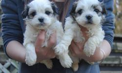 COMES WITH: ONE SHOT ONE DEWORMING ONE YEAR HEALTH WARRANTY A BAG OF PUPPY FOOD SHIH TZU PUPS -- 100% NON-SHEDDING, HYPOALLERGENIC PARENTS BOTH UNDER 8 LBS MATURE TO 5-8 LBS ONLY, MUCH SMALLER THAN THE REGULAR SIZE SHIH TZU (13-15LBS USUALLY) 2 BLACK AND