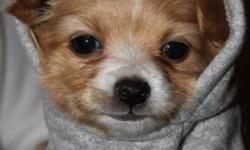 THE BEST CHI PUPPY IN ONTARIO WE HAVE ONLY 2 LITTLE GIRLS  THEY COME WITH SHOTS, DE WORMING, FOOD, TOY, BED, AND MORE. YOU JUST NEED TO HAVE THE LOVE. THESE PUPS ARE REGISTERED AND ARE OF THE BEST BLOODLINES AND ARE STRONG HAPPY HEALTHY PUPPIES.