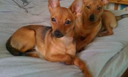 MAKE THEIR CHRISTMAS WISHES COME  TRUE A HOME TOGETHER WITH YOU     IF YOUR OFF AT WORK OR PLAY. THESE TWO DARLINGS WITH BE HAPPY ALL DAY.   NON-SHEDDING, CUDDLY, FUN LOVING, PLAYFUL, THEY ARE TRULY GREAT COMPANIONS.   Pomchesters are about 6 to 10 inches
